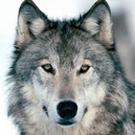 wolf_love's avatar
