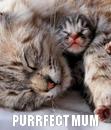 Poster:  PURRFECT MUM