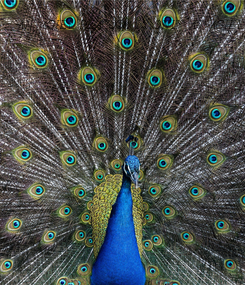 Poster: AN AGIEL PEACOCK IS ONLY AS AGIEL AS YOU