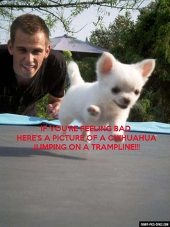 Poster:  IF YOU'RE FEELING BAD  HERE'S A PICTURE OF A CHIHUAHUA JUMPING ON A TRAMPLINE!!!