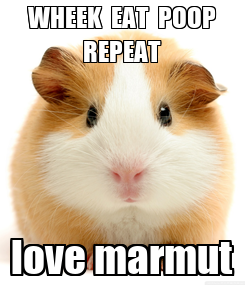 Poster: WHEEK  EAT  POOP REPEAT love marmut