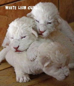 Poster: white lion cubs.