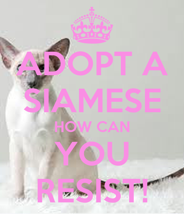 ADOPT A SIAMESE HOW CAN YOU RESIST!