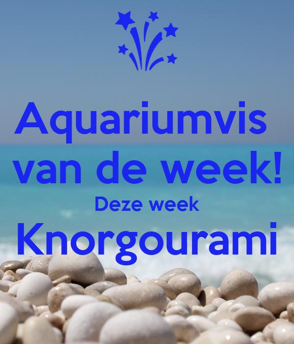 Aquariumvis  van de week! Deze week Knorgourami