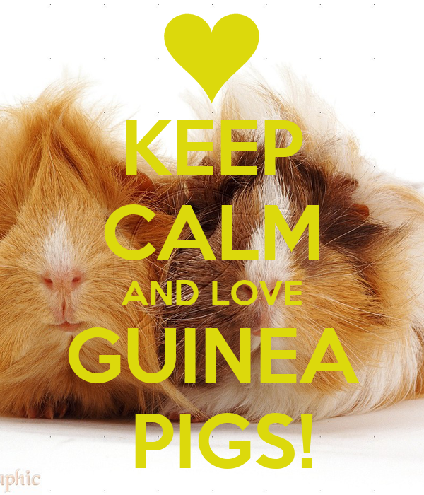 KEEP CALM AND LOVE GUINEA  PIGS!