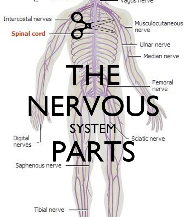 The Nervous System Parts Poster Brandi Keep Calm O Matic
