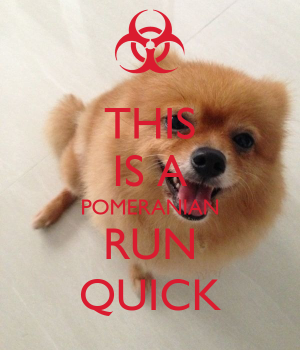 THIS IS A POMERANIAN RUN QUICK