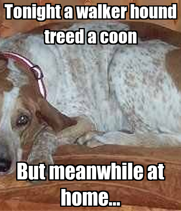 Tonight a walker hound treed a coon But meanwhile at home...