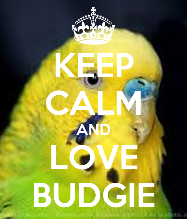 how to make your budgie love you
