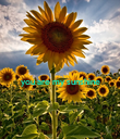 you are my sunshine   - Personalised Poster large