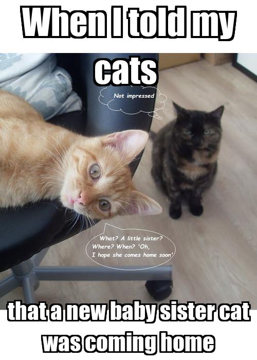 siamese kittens for sale in va